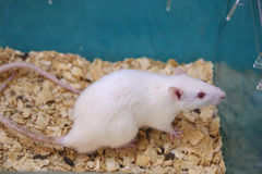 White (albino) laboratory rat in acrylic cage Stock Photos
