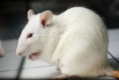White (albino) laboratory rat on board Royalty Free Stock Images
