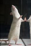 White (albino) laboratory rat standing on feet Royalty Free Stock Photo