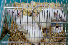 White (albino) laboratory rats Stock Image