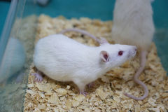 White (albino) laboratory rats Royalty Free Stock Images