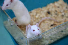 White (albino) laboratory rats Royalty Free Stock Image