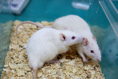 White (albino) laboratory rats Royalty Free Stock Photo