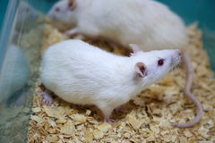 White (albino) laboratory rats Royalty Free Stock Photos