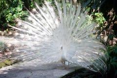 White albino peacock Stock Image