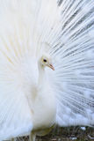 White Albino Peafowl Stock Photo