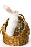 White albino rabbit in basket. Big-eared, red-eyed white rabbit in a basket Royalty Free Stock Images