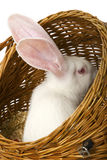 White albino rabbit in basket. Big-eared, red-eyed white rabbit in a basket Stock Photos