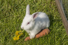 White albino rabbit Royalty Free Stock Photos