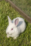White albino rabbit Stock Photos