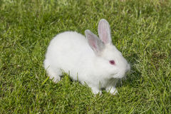 White albino rabbit Stock Photo