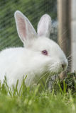 White albino rabbit Royalty Free Stock Photo