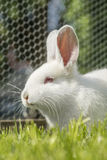 White albino rabbit Stock Images