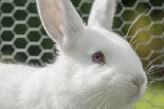 White albino rabbit Stock Photography