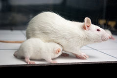 White (albino) rat with baby rat on board Stock Images