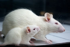 White (albino) rat with baby rat on board Royalty Free Stock Images