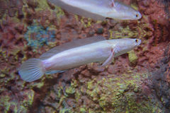 White Albino Snakehead Fish Royalty Free Stock Photo