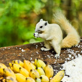 White albino squirrel Royalty Free Stock Image