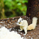 White albino squirrel Royalty Free Stock Images