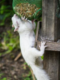 White, albino squirrel eating nuts Stock Image