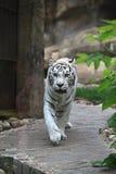 White albino tiger Royalty Free Stock Photo