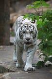 White albino tiger Royalty Free Stock Photography