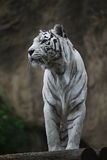 White albino tiger Stock Photography