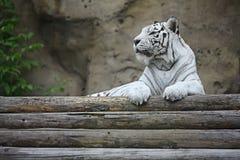White albino tiger Stock Photo