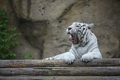 White albino tiger Royalty Free Stock Images