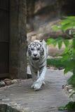 White albino tiger Royalty Free Stock Image