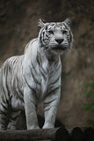 White albino tiger Stock Photos