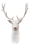 White albus deer portrait. Isolated on white background Stock Photo