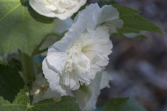 White Alcea Rosea, Double Hollyhock Flower Stock Photography