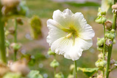 White Alcea Rosea Stock Photo