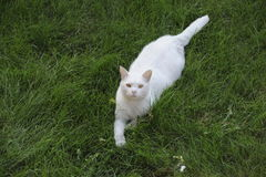 White alert cat in the field Stock Photos