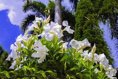 White Allamanda and Palm Tree. Royalty Free Stock Photos