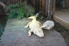 White Alligator Royalty Free Stock Images
