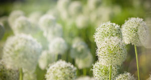 White Allium circular globe shaped flowers blow in the wind Royalty Free Stock Image