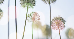 White Allium circular globe shaped flowers blow in the wind Royalty Free Stock Images