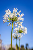 White allium flower Royalty Free Stock Photo