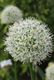 White Allium flower head. A pure white allium flower head , globe shaped , with ants crawling amongst the flower petals. A member of the onion family Royalty Free Stock Photo