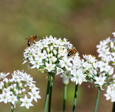 White Allium Flowers with bees Royalty Free Stock Images