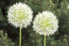 White Allium Stock Photos