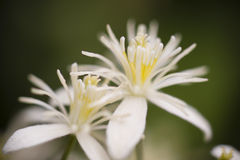 White Allium ornamental flowers Stock Photos