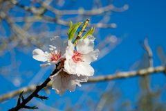 White Almond blossom set against a blue sky, vernal blooming of almond tree flowers. In Spain stock images