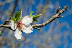 White Almond blossom set against a blue sky, vernal blooming of almond tree flowers. In Spain stock image