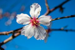 White Almond blossom set against a blue sky, vernal blooming of almond tree flowers. In Spain stock photography