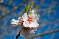 White Almond blossom set against a blue sky, vernal blooming of almond tree flowers. In Spain royalty free stock photo