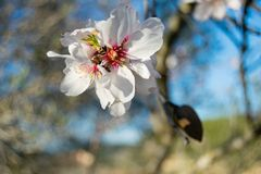 White Almond blossom set against a blue sky, vernal blooming of almond tree flowers. In Spain stock photo