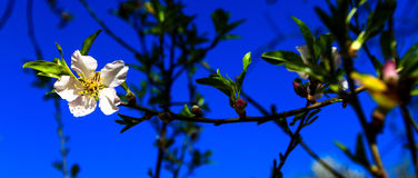 White almond blossom in spring on blue sky,  Israel.  Stock Image